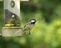 Chickadee sur un câble d'alimentation Photo stock