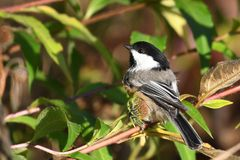 Chickadee tampado preto fotos de stock royalty free
