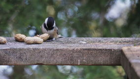 Chickadee tampado preto video estoque