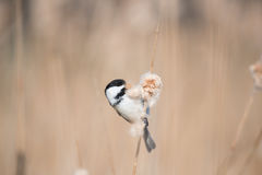 Chickadee tampado preto Imagem de Stock