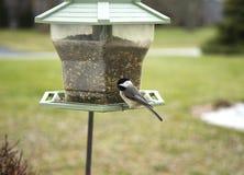 Chickadee tampado preto no alimentador do pássaro Imagem de Stock