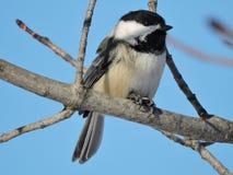 Chickadee tampado preto que senta-se no ramo desencapado Foto de Stock