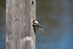 Chickadee Royalty Free Stock Photography