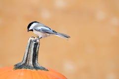 Chickadee on top of a pumpkin. stock photography
