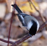 Chickadee On Tree Branch Stock Photo