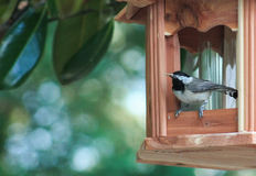 Chickadee w/seed Stock Photography