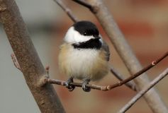 Chickadee waiting his turn at the feeder Stock Photos
