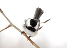 Chickadee Wind-blown fotografia stock