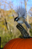 Chickadee Wings and Pumpkin. A chickadee landing on the stem of a pumpkin in autumn Royalty Free Stock Image