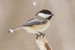 Chickadee in winter Royalty Free Stock Image