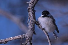 Chickadee in the Winter Cold stock photography