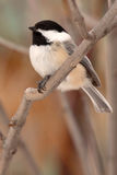 Chickadee Winter Perch Royalty Free Stock Photography