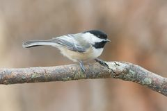 Chickadee in Winter Perched on Tree Royalty Free Stock Photos