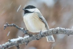 Chickadee in Winter Snow Storm Stock Photography