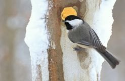 Chickadee at Winter Suet. A Black- capped Chickadee at winter suet Stock Photos