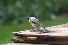 Chickadee on wood deck in summer Stock Photography