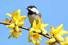 Chickadee With Yellow Flowers. Black-capped Chickadee (Poecile atricapillus) perched on a branch with flowers Royalty Free Stock Photos