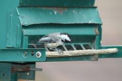 Chickadee, Zwarte Afgedekte Poecile-atricapillus Royalty-vrije Stock Afbeelding