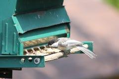 Chickadee, Zwarte Afgedekte Poecile-atricapillus Stock Foto's