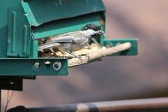 Chickadee, Zwarte Afgedekte Poecile-atricapillus Royalty-vrije Stock Foto's