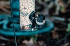 Chickadeefågel på fågelförlagematare i trädgård som äter frö royaltyfri fotografi