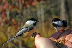 Chickadees Immagine Stock