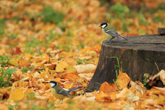 Chickadees in the autumn forest. Two chickadees in the autumn forest on a background of leaves stock images