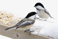Chickadees karmi w podwórku  Obrazy Royalty Free