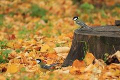 Chickadees na floresta do outono Imagens de Stock