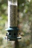 Chickadees Nero-ricoperti Immagini Stock