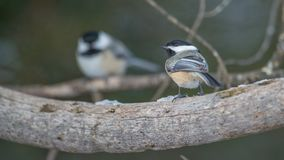 Chickadees perched on branches in the Sax-Zim Bog in winter.  stock photography