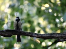 The chickadees sitting on a brach and eating worm Royalty Free Stock Photos
