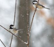 Chickadees in Snowstorm On Twigs in woods stock photo
