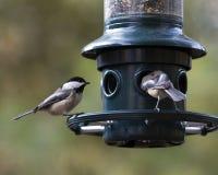Chickadees tampados preto Fotografia de Stock