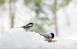Chickadees w śniegu Obraz Royalty Free