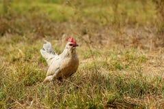 Chicke pequeno em um campo Imagens de Stock Royalty Free