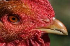 Chicken's głowa Zdjęcie Stock