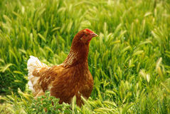 Chicken 03 Stock Photos