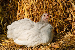 A chicken Stock Images