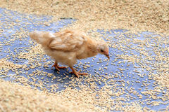 Chicken Stock Images