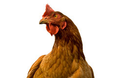 Chicken. Brown chicken isolated on white background Royalty Free Stock Image