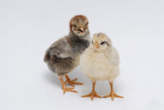 Chicken. Two newly born cute chickens in different color on a white background Stock Image