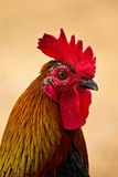 Chicken. In a little farm stock photos