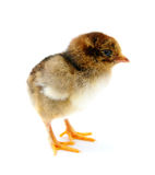 A chicken Royalty Free Stock Photos