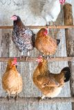 Chicken. Image shows hen searching for food, chicken series Stock Photography