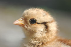 Chicken. A portrait of a newly born chicken Stock Photos