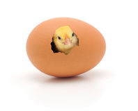 Chicken. Coming out of a brown egg royalty free stock photos