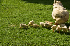 Chicken. Hen with chicks on the grass Royalty Free Stock Images