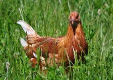 Chicken. Brown chicken in long green grass Stock Photos