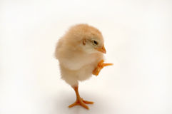 Chicken. A newly born chicken on a white background Royalty Free Stock Photos